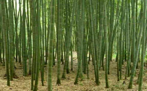 Phyllostachys edulis for Semi di bambu