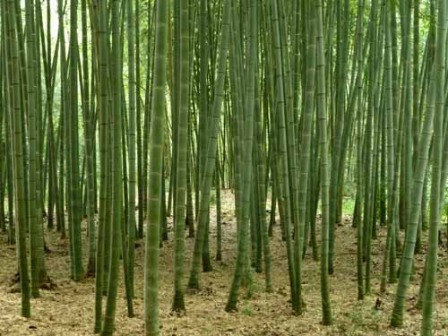 Piantinedibambu for Semi bambu gigante